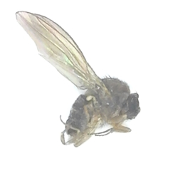 Fruit Fly dead insect specimen
