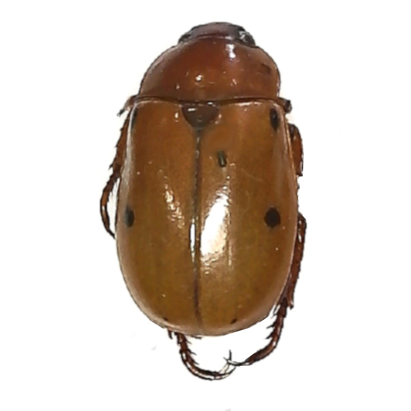 dead specimen Grapevine Beetle