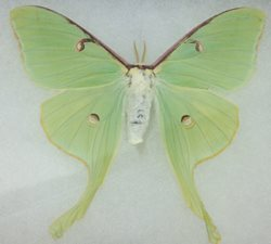 Luna Moth [with damage]