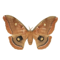 Polyphemus Moth [damaged]