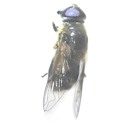 Rat-tailed Maggot Fly