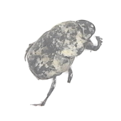 Scooped Scarab Dung Beetle