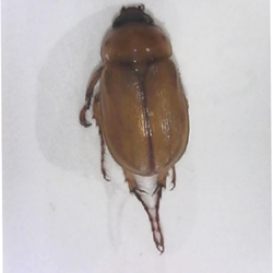 Southern Masked Chafer