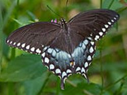Spicebush Swallowtail [damaged]