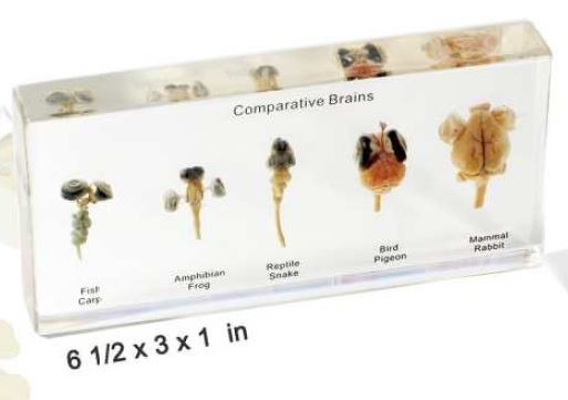 comparative brains (6 1/2 x 3 x 1 in)