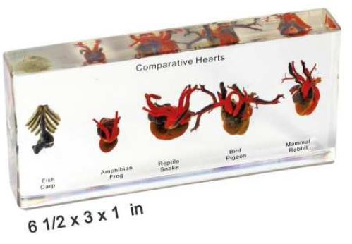 comparative hearts (6 1/2 x 3 x 1 in)
