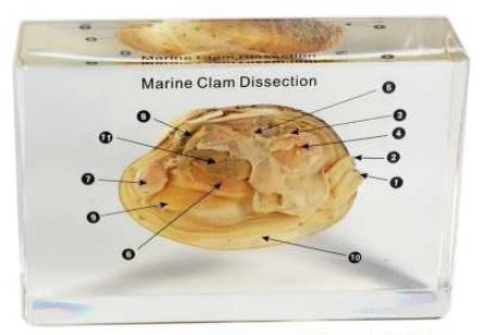 marine clam (5 1/4 x 3 1/2 x1 1/2 in )
