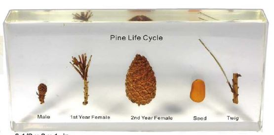 Pine Lifecycle (6 1/2 x 3 x 1 in )