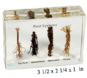 root systems (3 1/2 x 2 1/4 x 1 in )