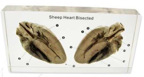 sheep heart bisected (8 1/4 x 4 1/4 x 1 1/8 in)